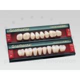 Gnathostar A-d Posteriores (molares Inferiores)